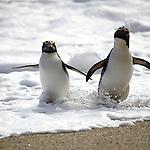 fiordland crested penguins, west coast, new zealand