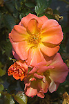 ROSA 'SPICE SO NICE', CLIMBING ROSE