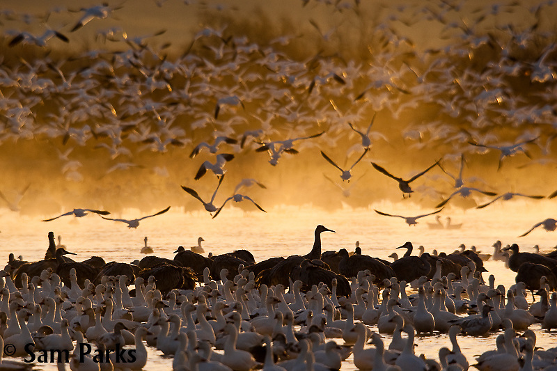 Snow geese and sandhill cranes. Bosque del Apache National Wildlife Refuge, New Mexico.