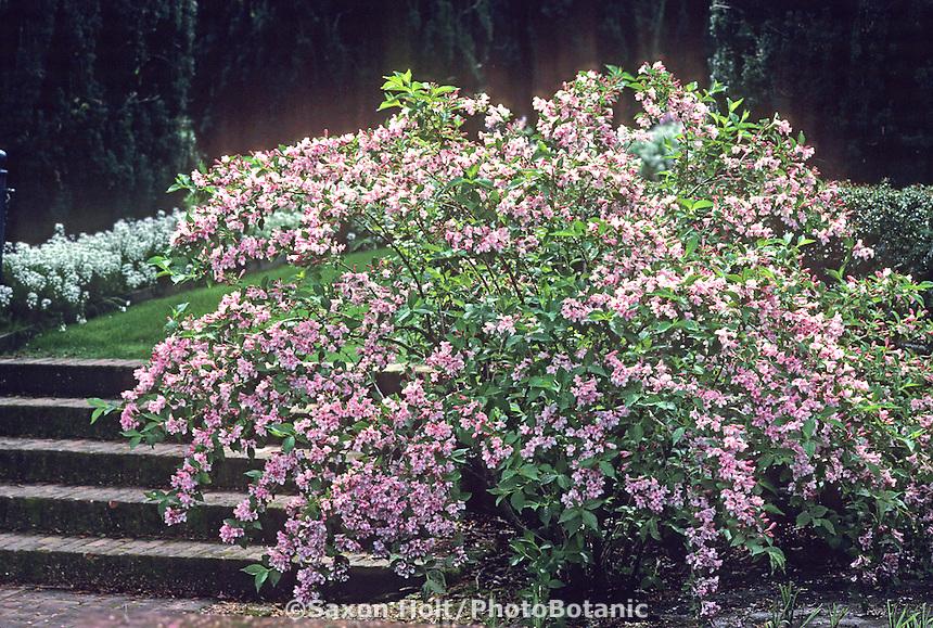 Weigela florida flowering shrub