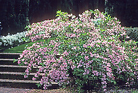 Weigela florida flowering shrub