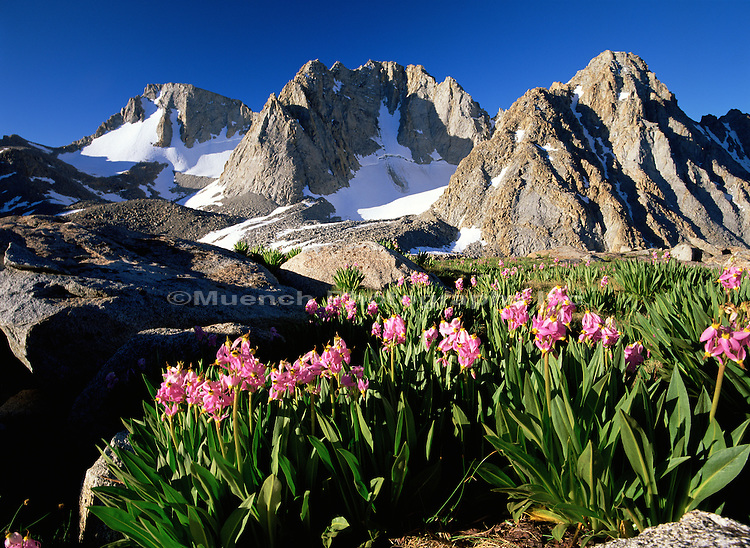 """Shooting Star flowers in Darwin Basin, Mt. Mendel and Mt. Darwin   CALIFORNIA"""
