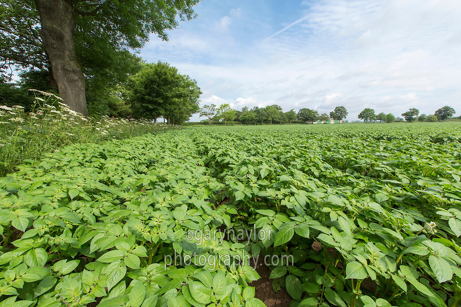 Desiree potatoes meeting in the row - Lincolnshire, June