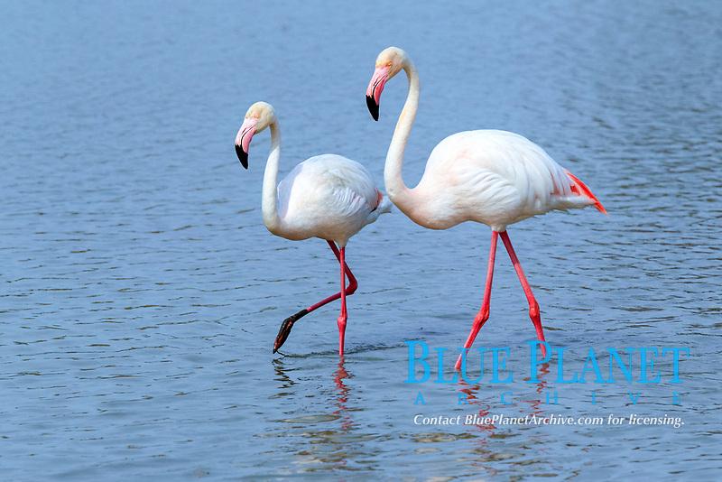 Greater Flamingo (Phoenicopterus ruber roseus), pair, foraging in water, Saintes-Maries-de-la-Mer, Camargue, France, Europe
