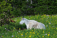 Mountain Goat (Oreamnos americanus) resting among wildflowers.  Glacier National Park, Montana.  Summer.  This mt. goat has been rolling and throwing dirt on itself (see image #D3A8170) to control insects and remove itchy shedding hair.