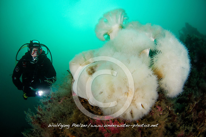Metridium senile, Seenelke und Taucher, plumose anemone and scuba diver, Kleiner Strytan, Akureyri, Eyjafjord, Nord Island, little Strytan, small chimney, Akureyri, Eyjafiord, North Iceland, Greenland Sea, Groenlandsee, MR yes