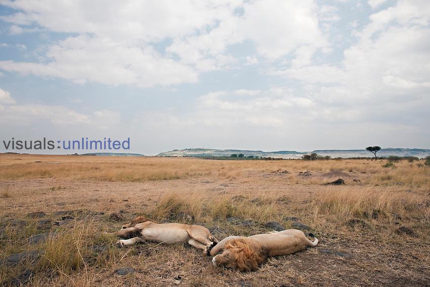 African Lion males sleeping (Panthera leo), Masai Mara, Kenya.
