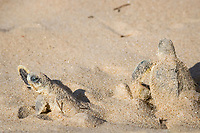 Australian flatback sea turtle hatchlings, Natator depressus (c-r), emerge from nest, Crab Island, off Cape York Peninsula, Torres Strait Queensland, Australia
