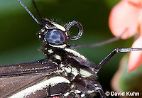 0419-1105  Sapho Longwing, Heliconius sapho  © David Kuhn/Dwight Kuhn Photography