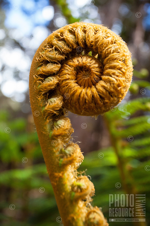 Close-up of a spiralled fern frond along the Kilauea Iki trail in Hawaii Volcanoes National Park, Big Island.