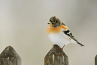 Brambling (Fringilla montifringilla), male perched on fence, Zug, Switzerland, Europe