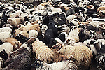 Sheep are herded together before being sheared in the Faroe Islands.