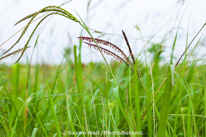 Tripsacum dactyloides Gamagrass flowering in Tallgrass Prairie Preserve, Oklahoma