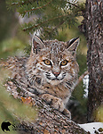 Wild bobcat in tree. Yellowstone National Park, Wyoming.
