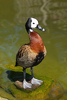 A Captive White Faced Whistling Duck {Dendrocygna viduata} at London Zoo