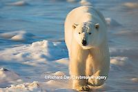 01874-13915 Polar Bear (Ursus maritimus) in Churchill Wildlife Management Area, Churchill, MB Canada