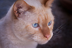 Red cat with blue eyes, pensive stare. Shot in La Villita, San Antonio, Texas
