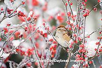 01588-008.05 American Tree Sparrow (Spizella arborea) on Common Winterberry (Ilex verticillata) in winter, Marion Co.  IL