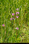 Shooting Star, Dodecatheon, East Fork of the Jemez River, Jemez Mountains, Los Alamos, New Mexico