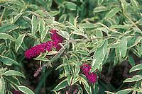 Buddleia variegated (Harlequin ? Masquerade?) Buddleia Butterfly Bush