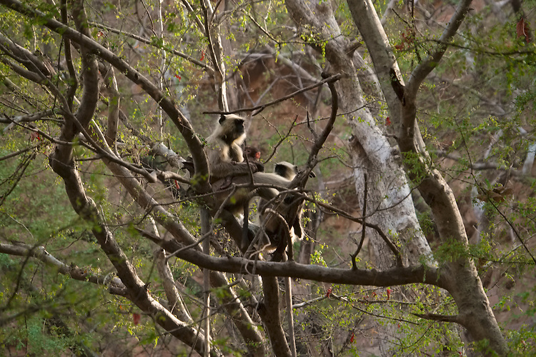 Monkeys are often seen within the overhead canopy in this past hunting preserve of the Maharajas of Jaipur.