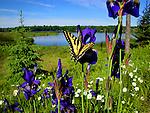 Butterfly on wild Iris's.