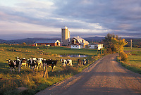 farm, Newport Center, VT, Vermont, Cows grazing in a field on a farm along a country road in the fall in Newport Center.