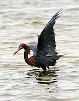 Adult reddish egret in breeding plumage foraging