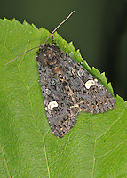 Dot Moth Melanchra persicarieae Length 18-20mm. A striking and aptly-named moth. At rest the wings are usually held in a shallow tent-like manner. Adult has blackish forewings with deep bluish marbling, brown flecks and a white kidney spot. Flies July-August. Larva feeds on a wide range of herbaceous plants. Widespread and very common in southern and central Britain.