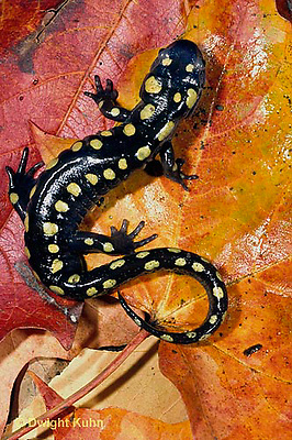 SL01-084x   Salamander - spotted salamander adult on autimn leaves - Ambystoma maculatum