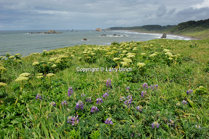 Streambank lupine (lupinus rivularis) and sea-watch (Angelica lucida) on Cape Blanco and Gull and Castle Rocks<br />