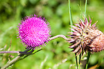 Purple thistle flower head, Suffolk, England, UK - Cirsium vulgare, the spear thistle, bull thistle, or common thistle