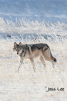 wolf on frosty winter morning