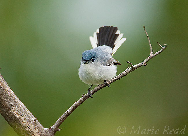 Blue-gray Gnatcatcher (Polioptila caerulea), male showing white outer tail feathers, Wichita Mountains National Wildlife Refuge, Oklahoma, USA
