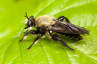 Bee-like Robber Fly (Laphria virginica), West Harrison, Westchester County, New York