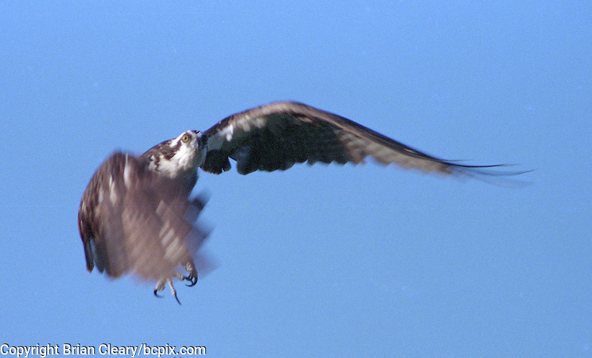 An Ospry in flight in Daytona Beach, FL(Photo by Brian Cleary/www.bcpix.com)