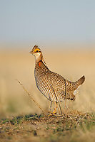 Adult male Lesser Prairie-Chicken  surveys its rivals on a lek. Cimarron National Grassland, Kansas. April.
