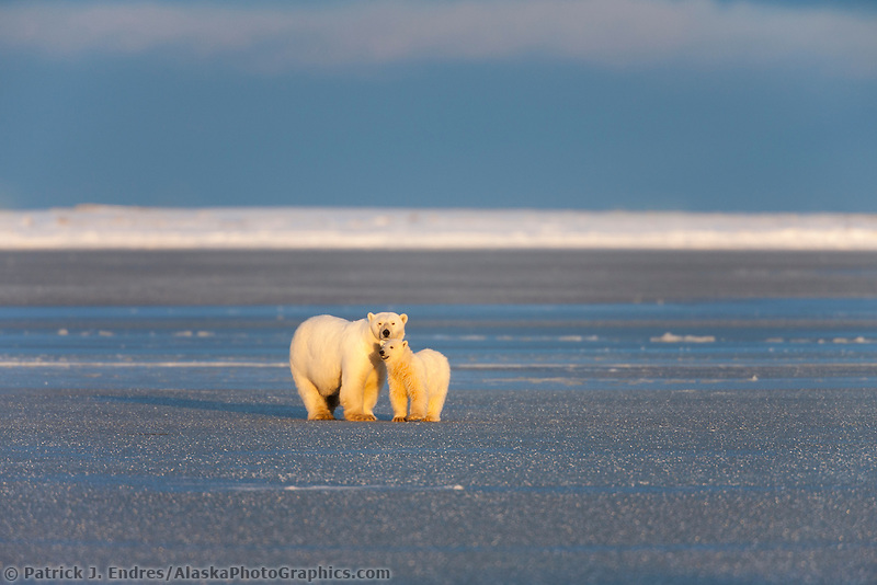 A female polar bear and her cub of the year stand in the golden sunshine on the frozen Beaufort Sea along Alaska's arctic north coast.