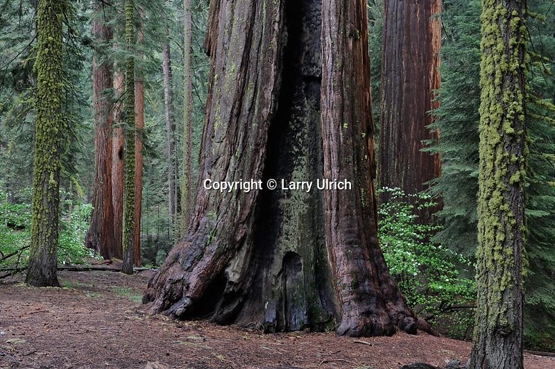 Giant sequoias and mountain dogwood<br /> McKInley Grove Botanical Area<br /> Sierra National Forest<br /> Sierra Nevada, California