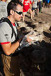 Vets, biologists and volunteers ringing,measuring and weighing juvenile flamingos at the annual leg ringing event in Fuente de Piedra Lagoon, Andalucia, Spain