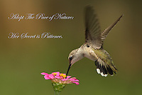 Hummingbird Photo Card.<br /> Black-chinned female hummingbird.