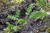 Wiesen-Kümmel, Wiesenkümmel, Kümmel, Blatt, Blätter vor der Blüte, Carum carvi, Caraway, Cumin