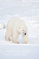 01874-12101 Polar Bear (Ursus maritimus) in winter in Churchill Wildlife Management Area, Churchill, MB Canada