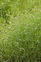 Flohsamen, Flohsame, Schwarzer Flohsame, Flohkraut, Flohsamen-Wegerich, Afrikanischer Wegerich, Psyllium afrum, Plantago afra, Planatgo afrum, Plantago psyllium, Black Psyllium, Dark Psyllium, African plantain, glandular plantain