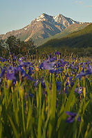 A field of wild Iris bloom on the Palmer Hayflats near the Dena'ina village of Eklutna. Summer in Southcentral Alaska.