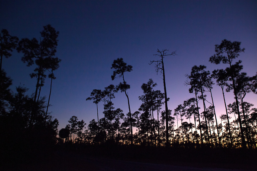 Purple sunset seen through slash pine trees (Pinus elliottii var. densa), Everglades National Park, Florida, USA