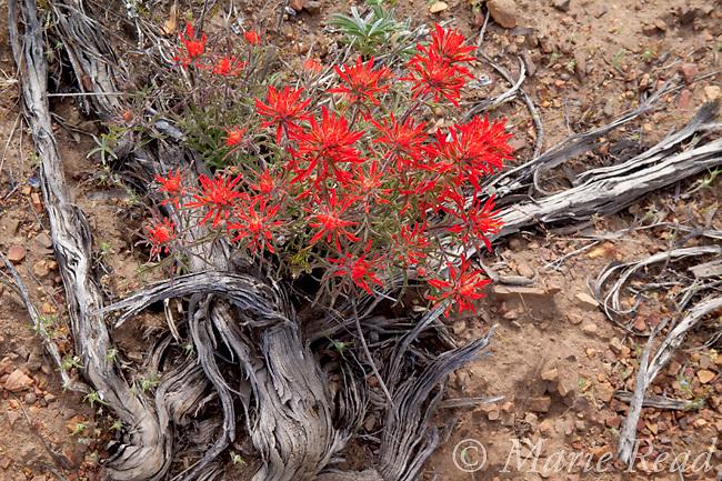 Indian Paintbrush (Castilleja sp.) flowering amid dead Sagebrush (Artemisia tridentata) stems, on the desert floor, Mono Lake Basin, California, USA. Paintbrush grows as a partial root-parasite on Sagebrush