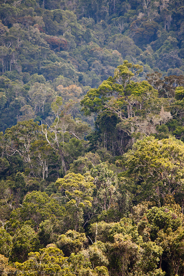 Primary rainforest. Andasibe-Mantadia National Park, eastern Madagascar.