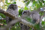 Family of Eastern Screech Owls taking up temporary residence in my backyard.  My new friends!