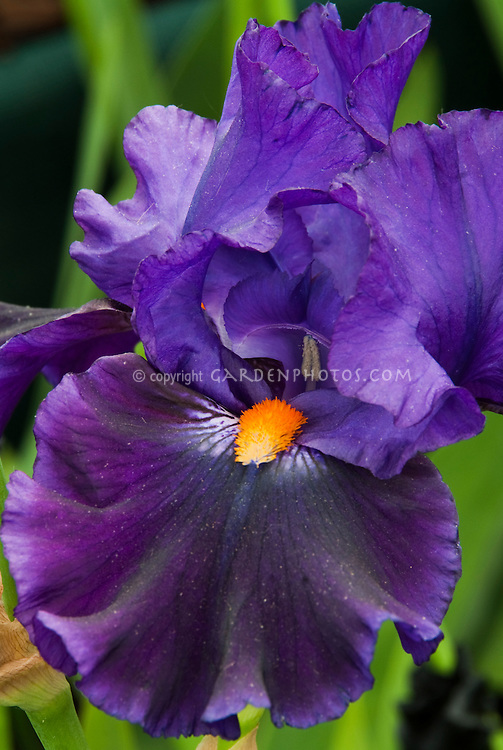 Bearded Iris Witches Wand purple with orange red beard